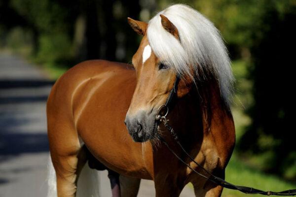 Haflinger Horses, Fernances Creek, Hunter Valley